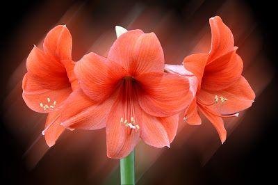 Las flores más hermosas del mundo (18 fotografías en alta resolución) - Amazing flowers backgrounds | Banco de Imágenes Las flores más hermosas del mundo (18 fotografías en alta resolución) - Amazing flowers backgrounds         |          Banco de Imágenes