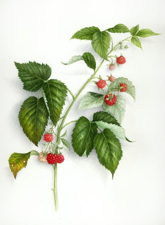 Vincent Jeannerot - raseberry botanical