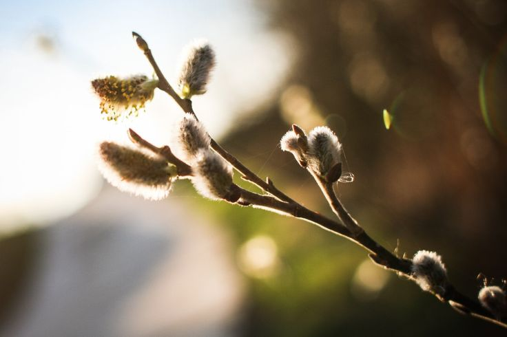 Free image: Spring is here! Salix caprea (goat willow)