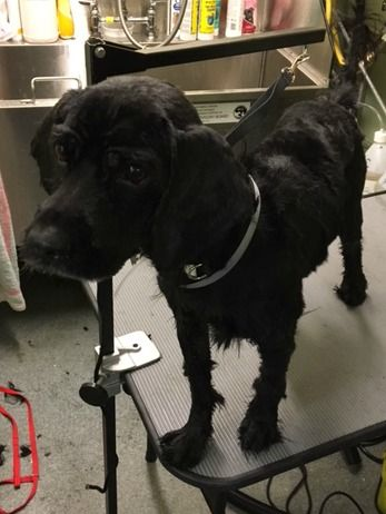 SUPER URGENT Manhattan center MAX – A1097756  MALE, BLACK, POODLE STND / SHIH TZU, 7 yrs OWNER SUR – EVALUATE, NO HOLD Reason ALLERGIES Intake condition EXAM REQ Intake Date 11/23/2016, From NY 10463, DueOut Date 11/23/2016,