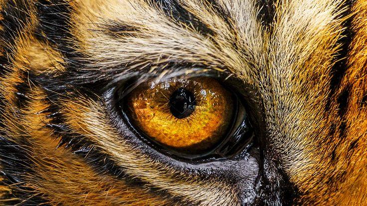 #thephotosociety #saveanimals #tiger #eye #fire