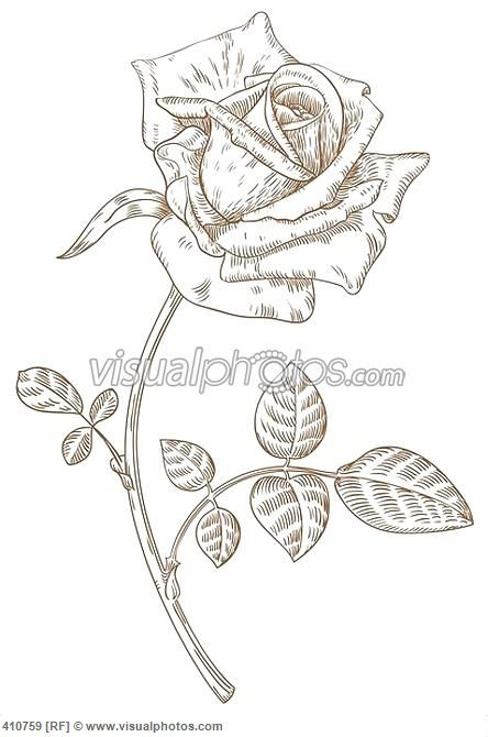 Drawing Lines Freehand : Best drawing roses images on pinterest