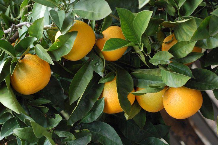 how to grow an orange tree