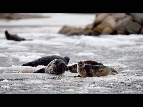 WWF Petteri Tolvanen –  Itämeri voi huonosti #Megastar - YouTube