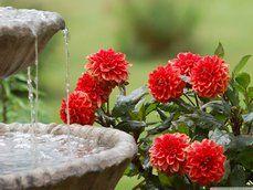 jiřiny a vodní fontány