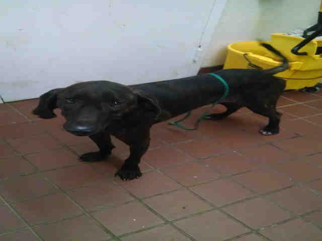 Plott Hound dog for Adoption in Waynesville, NC. ADN-652355 on PuppyFinder.com Gender: Male. Age: Adult