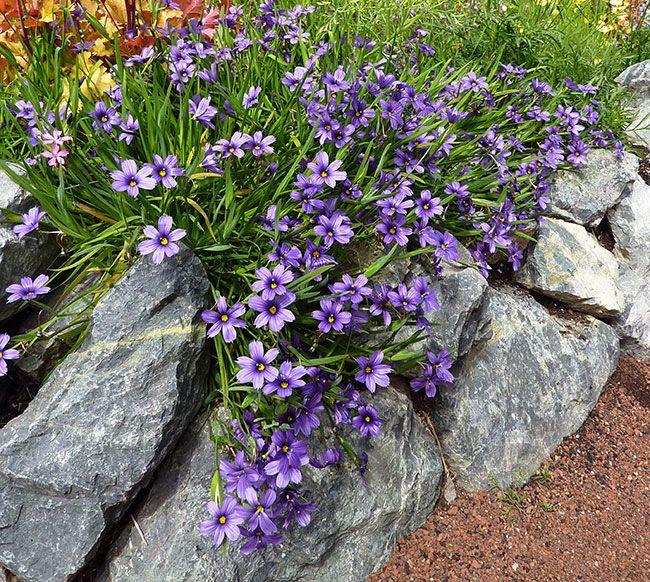 430 best alpine plants images on pinterest sch ne blumen alpine pflanzen und wildblumen. Black Bedroom Furniture Sets. Home Design Ideas