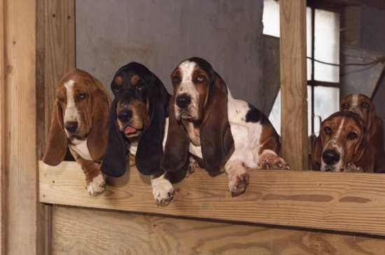 Five Tait's Bassets looking over kennel wall