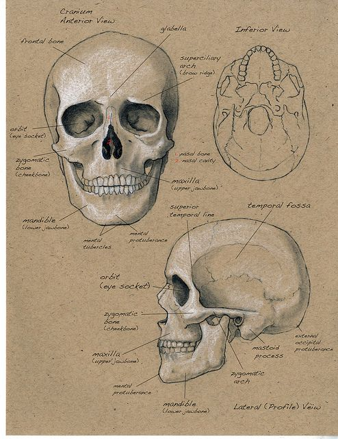 Anatomy sketchbook Scientific Illustration