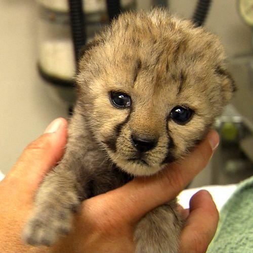 Cheetah-CubNurseries, Cincinnati Zoos, Cheetahs Cubs, Baby Animal, Adorable, New Baby, The Zoos, Cheetahcub Cutie, Baby Cheetahs