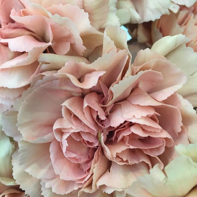 Carnation Wedding Ideas Yes It S More Than A Filler: 24 Best Images About Why Yes, They Are Carnations. And