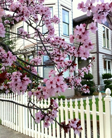 I adore you cherry blossoms, next to my dream white picket fence