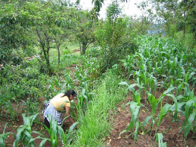 Agricultura sustentável através dos sistemas agroflorestais, atendendo o meio ambiente e sendo rentável para os pequenos e grandes…