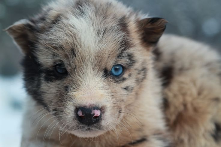 양쪽 눈 색이 서로 다른 오드아이를 가진 멍멍이예요.  파란눈동자가  참 강렬했는데....