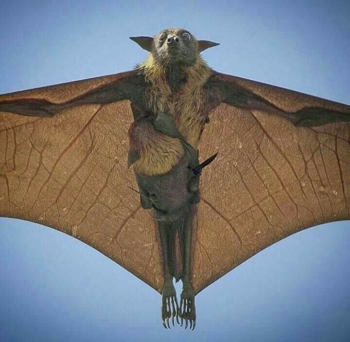 Mother Fruit Bat and Her Baby.