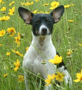 splashduck what is a rat terrier collection of images and related information websites. Rat Terrier Puppies Breeders Rat Terriers