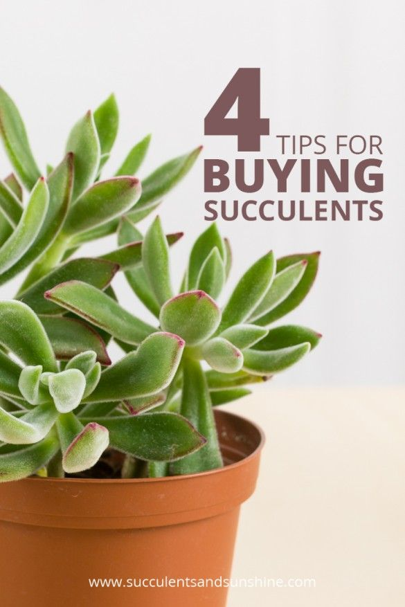 Learn what to look for when you're buying succulents at a nursery