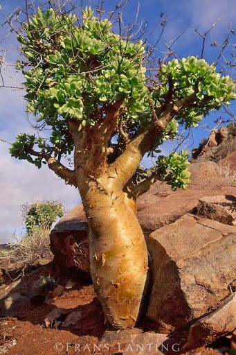 Butter tree, Tylecodon paniculatus, Richtersveld National Park, Namaqualand, South Africa