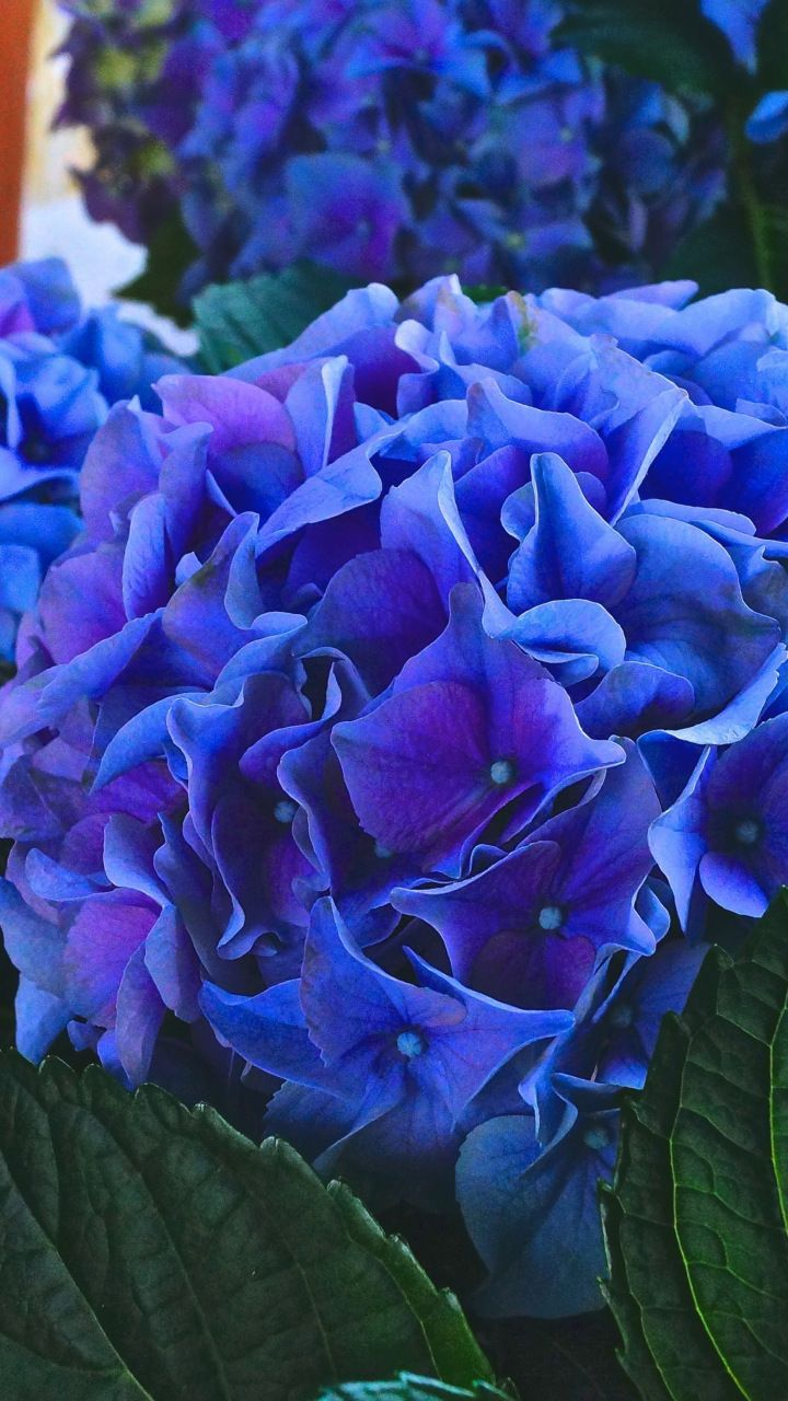 Hydrangea Violet Flowers Leaves Close Up 720x1280 Wallpaper