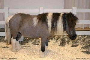 Falabella | Egy oldal a lovakról - Lófajták - Falabella