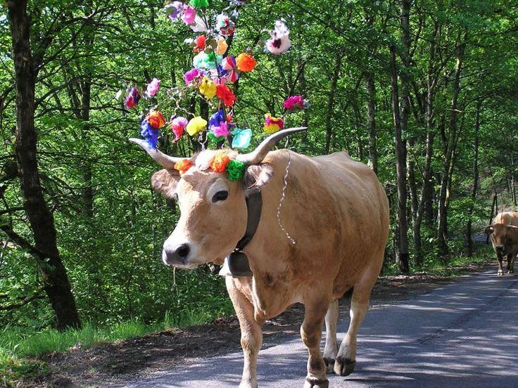 animaux / vache transhumance.jpg