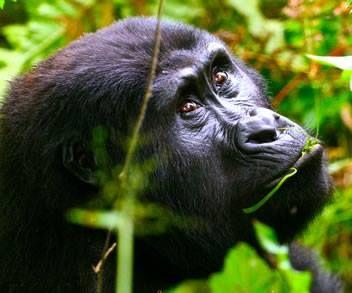 Gorilla Trekking Uganda http://www.ugandansafaristours.com gorilla tours http://ugandansafaristours.com/gorilla-trekking-safaris-tours-uganda.html