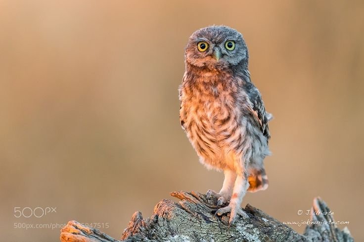 Little Owl by Uriarte