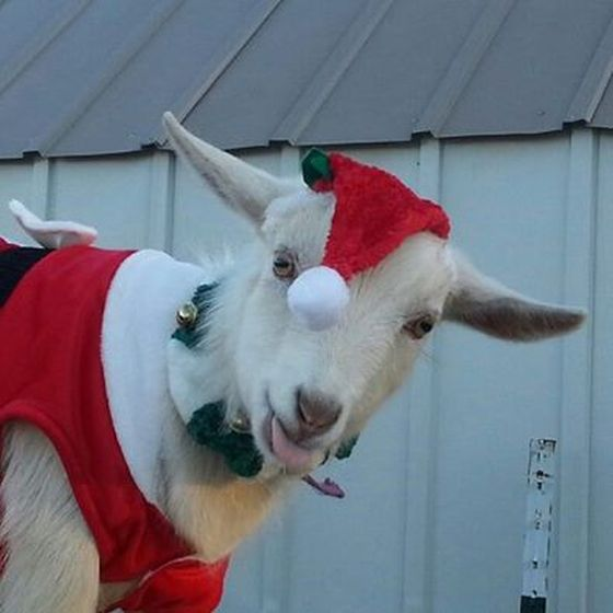 Goat does not look thrilled at the prospect of being dressed up lol...love the tongue sticking out!