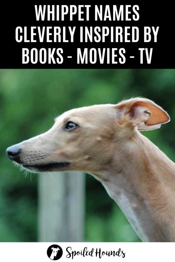 Brilliant Book Movie And Tv Inspired Whippet Names With Pictures Whippet Whippet Dog Dog Names