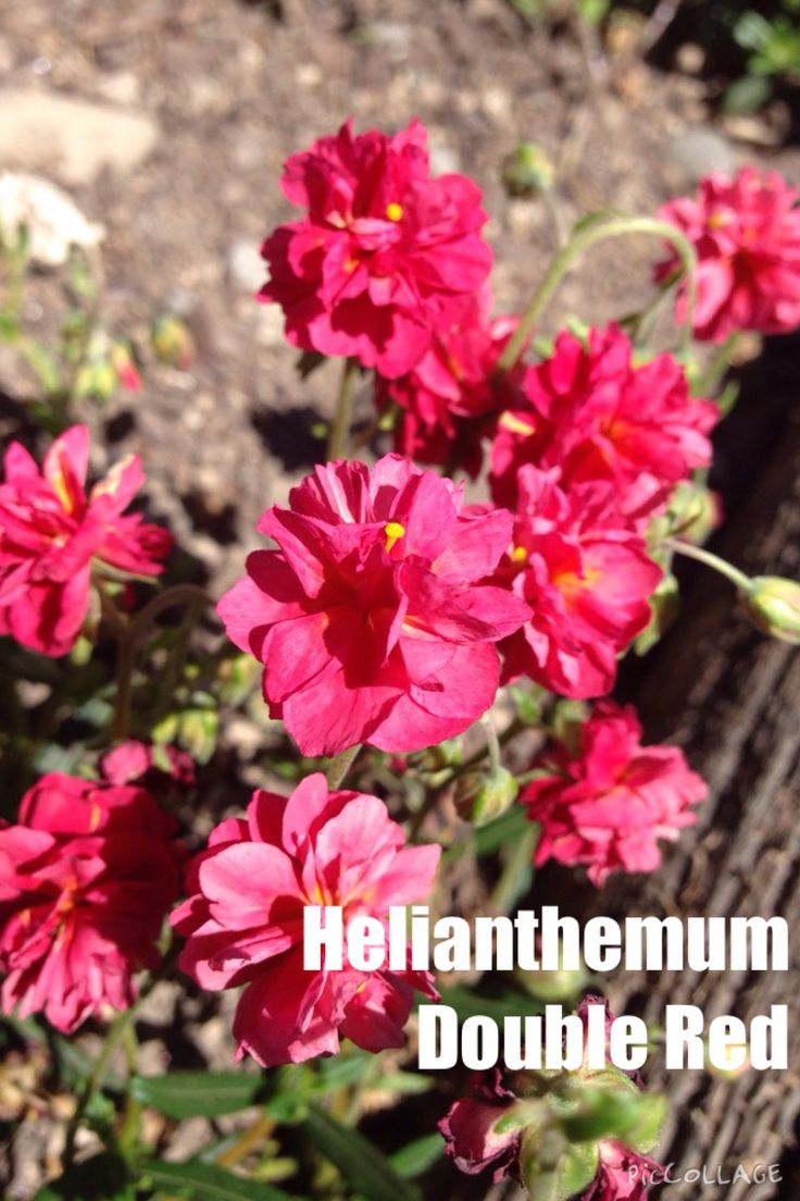 HELIANTHEMUM double red