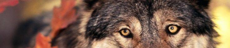 Comunicación y lenguaje corporal de los lobos