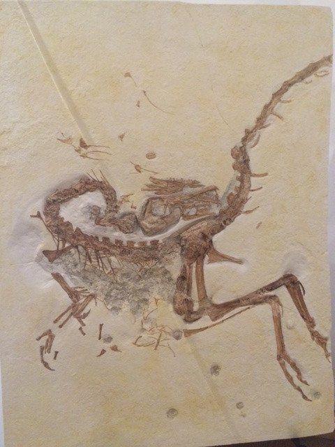 Réplique de Compsognathus longipes au Philip J. Currie Dinosaur Museum.