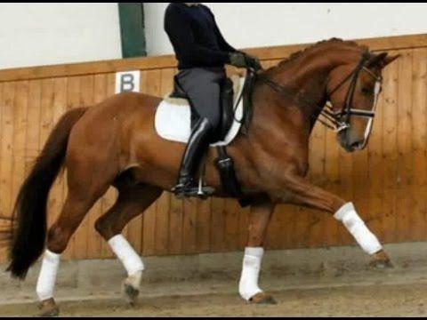 www.sporthorses-online.com 2006 Hanoverian dressage gelding super sane s...