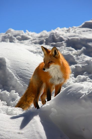 Wonderful Red Fox in snow