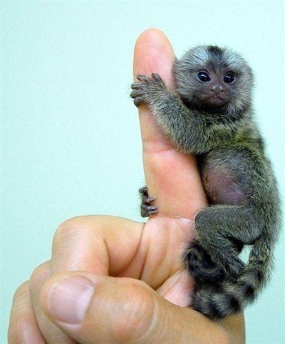 Una de las tres crías de mono de la especie titís pigmeo, la más pequeña del mundo, que alberga el zoo de Jerez de la Frontera (Cádiz).