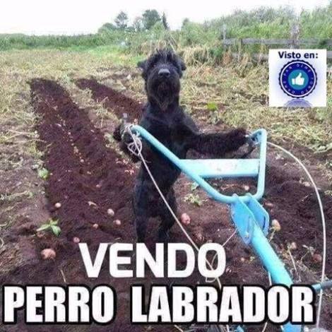 vendo perro labrador top humor en yeclaofertas