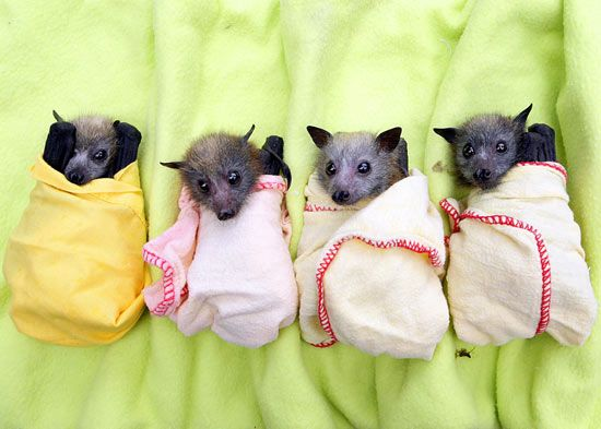 baby bat on mother | Bat clinic cares for abandoned pups - Weird News - Digital Spy