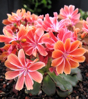 """Lewisia Cotyledon """"Sunset Strain"""".  For rock garden.  Full sun to partial shade.  Soil:  normal/sandy - excellent drainage.  Moisture:  average or dry, drought tolerant.  Bloom: late spring - midsummer.   Zone 3.  Height:  6 - 8"""".  Width:  8 - 12"""""""