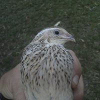 Really good beginners guide to raising quail