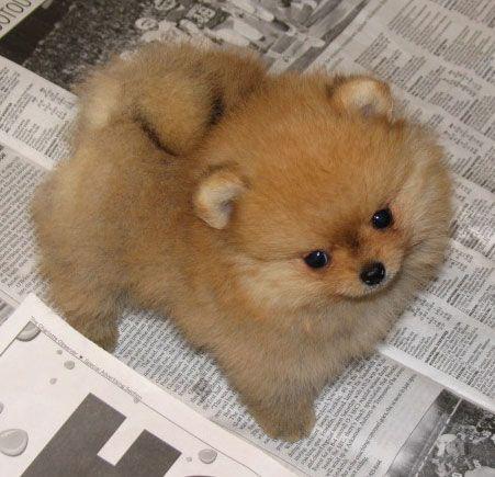 red pom puppy | Pomeranian | Pinterest