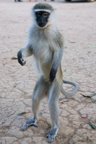 monkey standing - Google Search