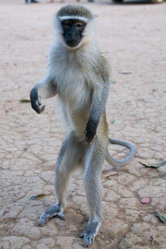 monkey standing - Google Search