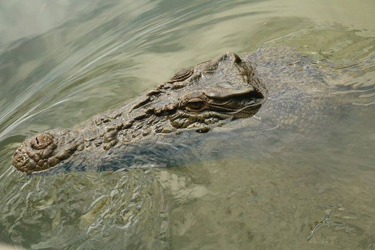 Crocodile in Cairns, QLD