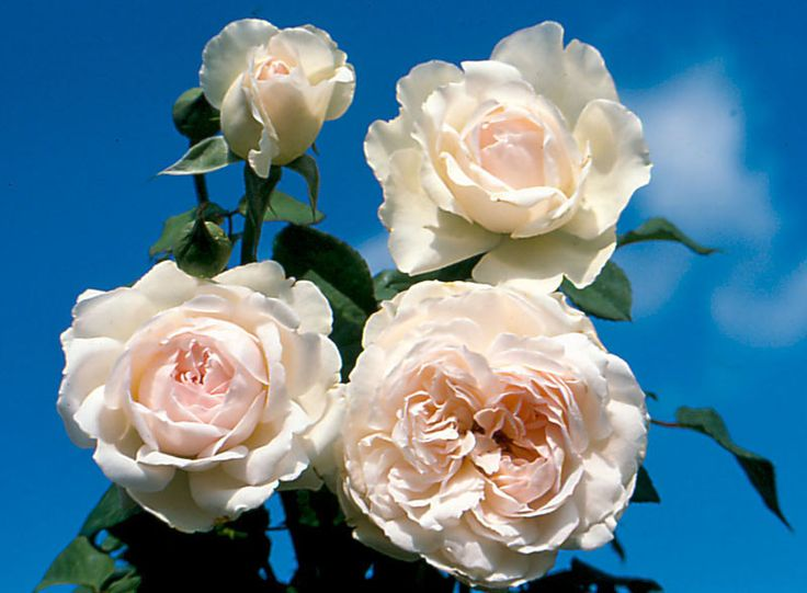 Sharifa Asma - Ludwigs Roses | This is a very advanced English Rose. The highly fragrant blooms are shallow cupped at first and gradually reflex to form a perfect rosette. Their colour is a most delicate pink fading to white on the outer petals, contrasting with the deeper pink as the full petalled blooms expand. These attractive blooms appear in large clusters on upright firm stems not unlike a modern Floribunda rose. We predict that few gardeners will resist the combination of the charm…