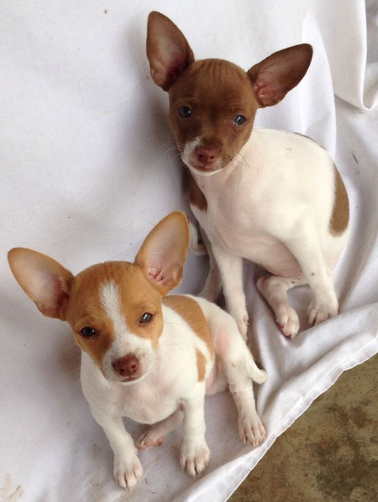 Rat Terrier puppies .. what a smile this brings to my face!