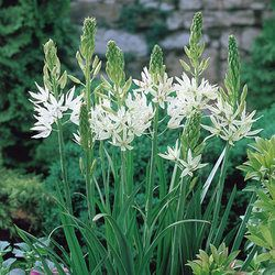 ~Camassia Leichtlini Alba - May June 8-10cm deep