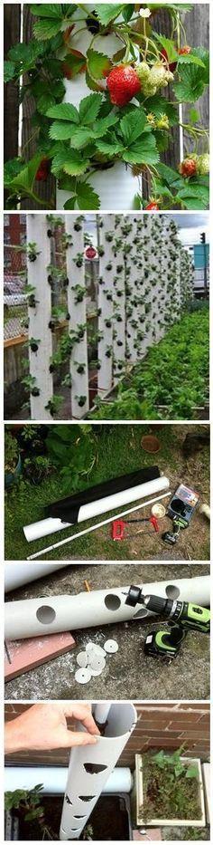 Pe de morango em tubos de pvc. Que ideia genial
