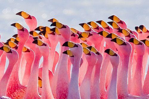 FLAMINGO'S -  Best birds in the worldPhotos, Pink Pink Pink, Pink Flamingos, Parties, Colors, Beautiful, Pinkpinkpink, Birds, Animal