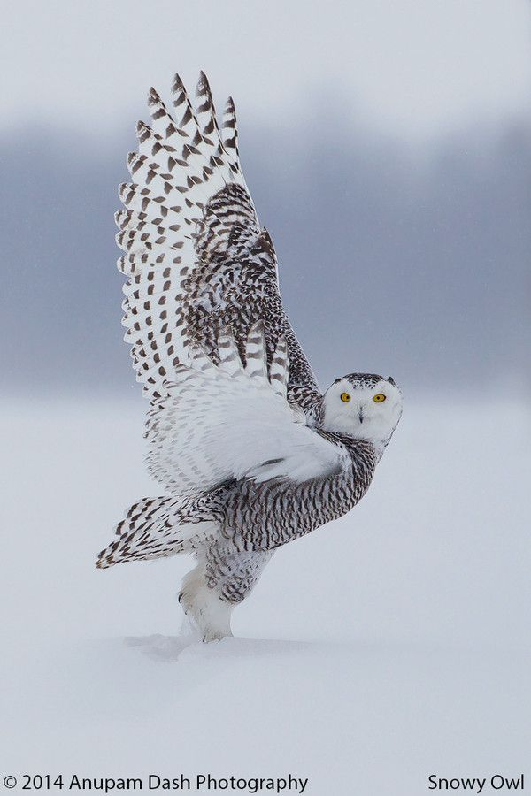 ~~ICE Dance!! ~ Snowy Owl by Anupam Dash~~