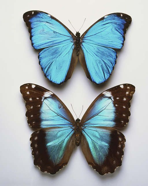 Blue Morphos:The males' wings are broader than those of the females and appear to be brighter in color.